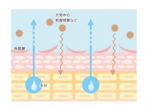 敏感肌の角質層